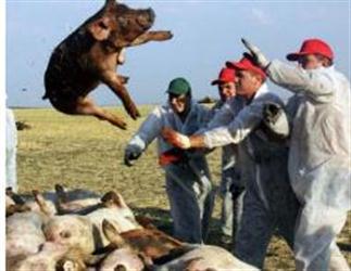 猪瘟又来了!会传染人吗?猪肉还能吃吗?这些答案要知道!