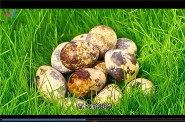 斑点脱落就是假鹌鹑蛋?会是别的禽类冒充的吗?