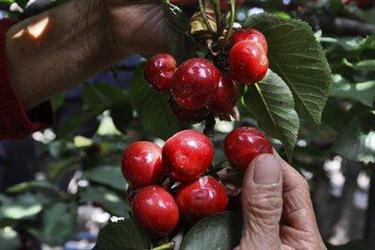 水果店老板告诉你樱桃应该这么挑